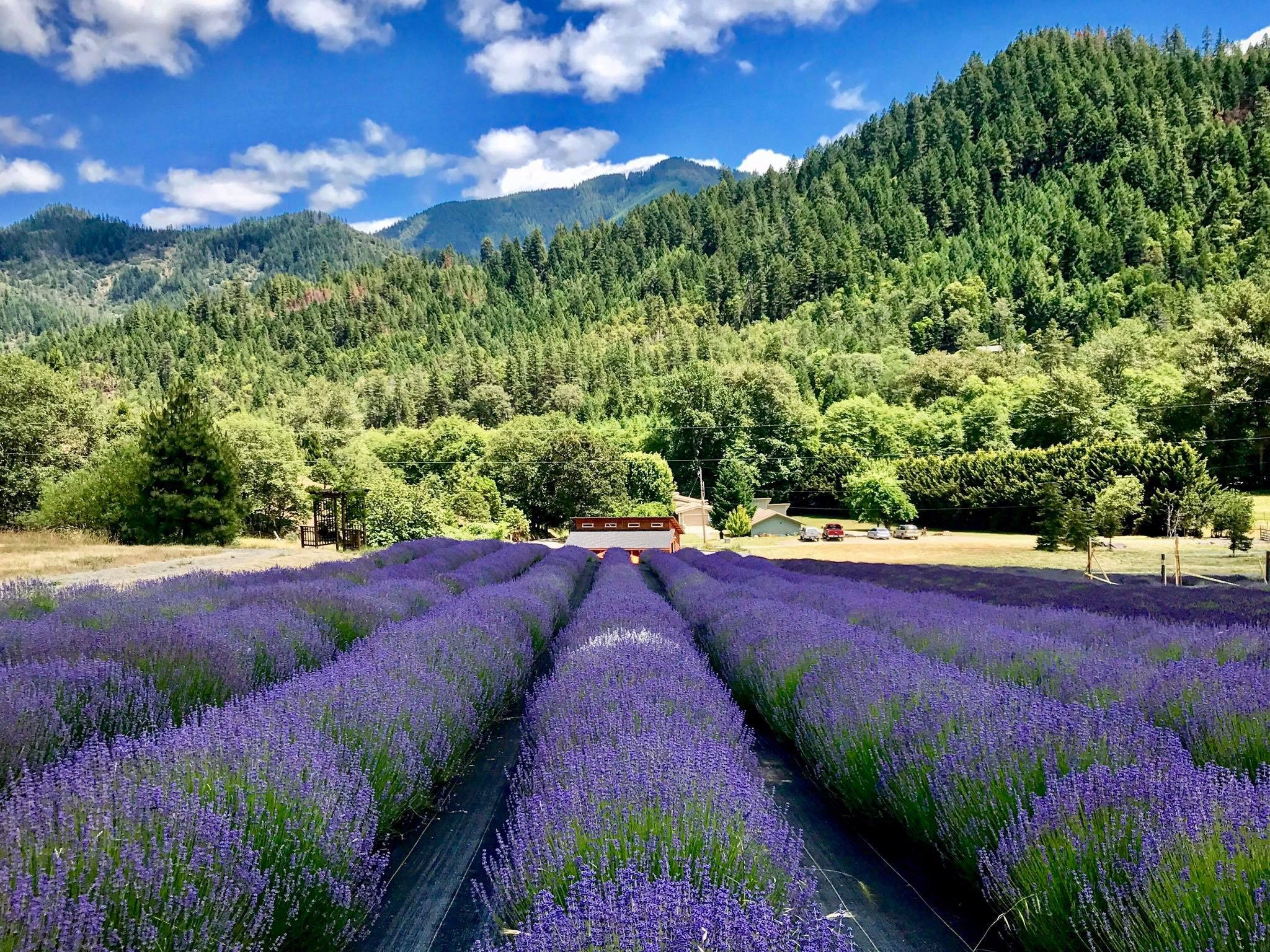 Lavender farm with trees and mountains in background