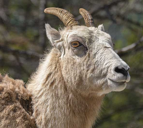 A close up of a bighorn sheep in the Canadian Rockies