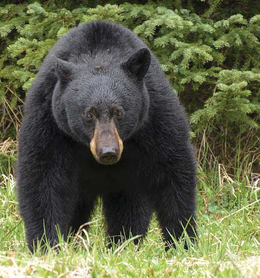 A black bear facing the camera in the Canadian Rockies
