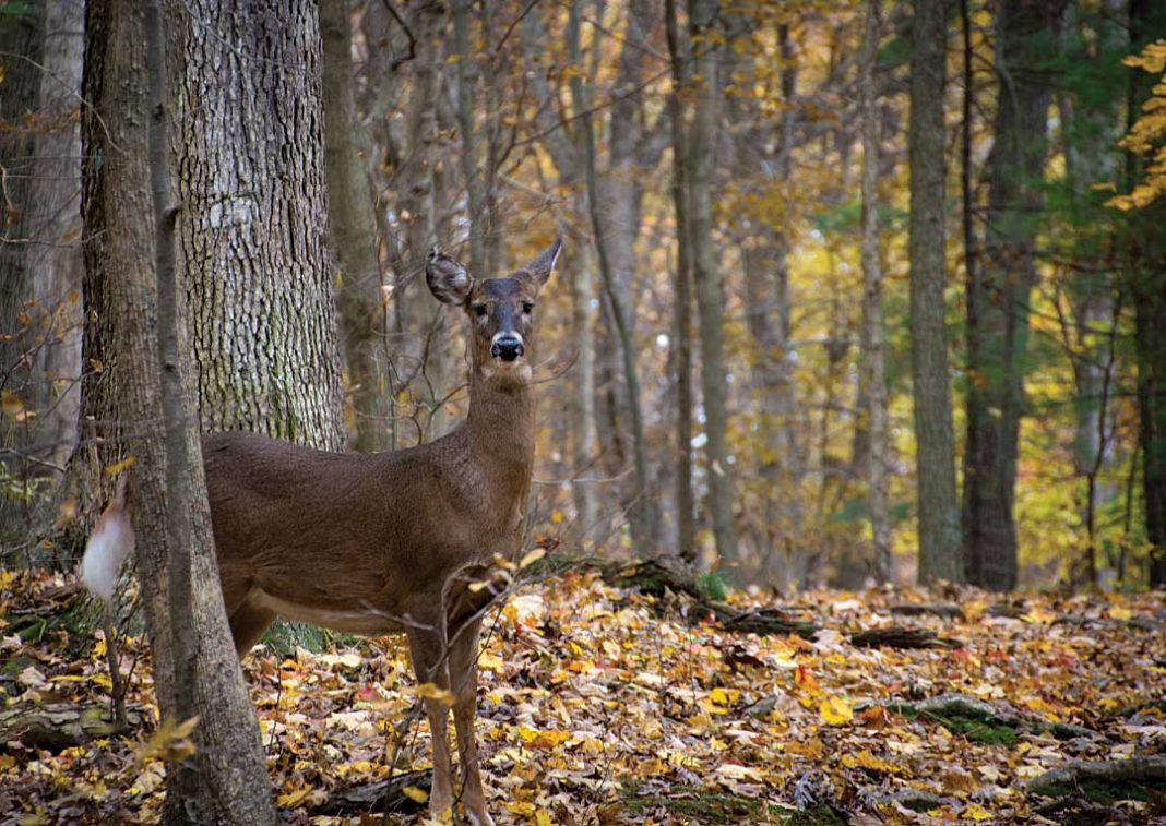 A white-tailed deer stands in the forest of Mohican State Park in Ohio