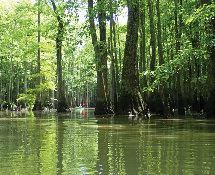 Towering trees of the Bayou DeView,