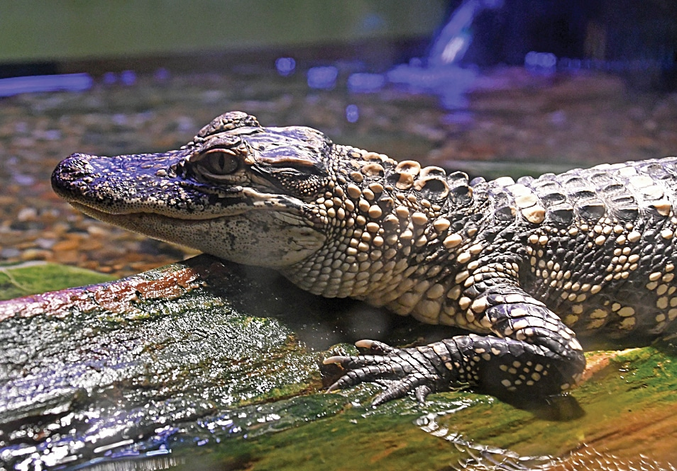 An alligator inside the Central Arkansas Nature Center in Riverfront Park