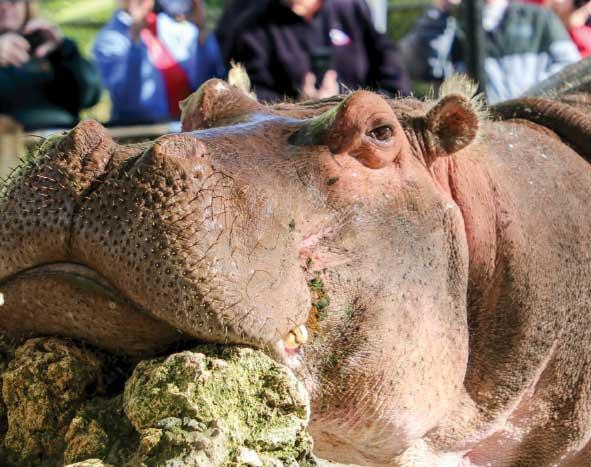Lu, the oldest hippopotamus in captivity