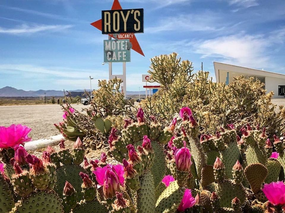 Desert cactus flowers in front of Roy's Motel and Cafe