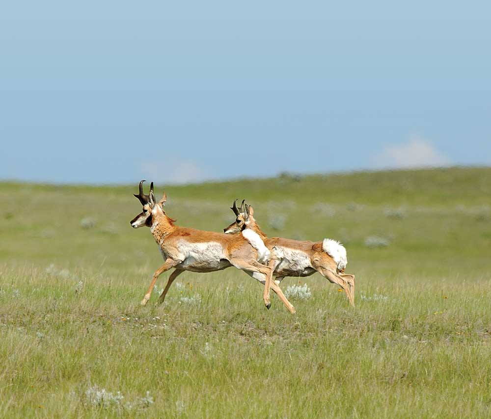 Icons of the Canadian prairie, pronghorn can outrun any creature in North America.