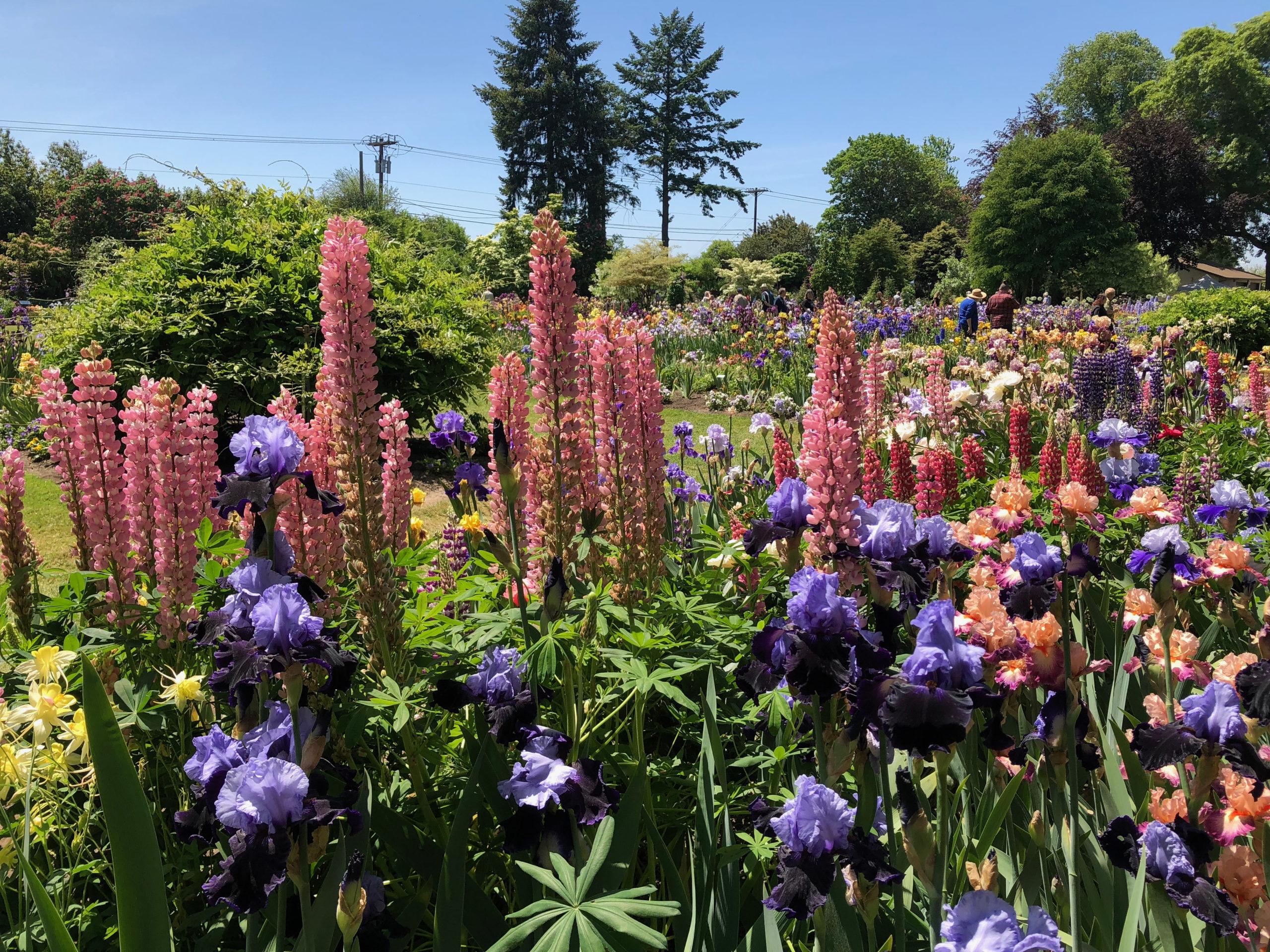 Schreiner Iris Gardens with large mauve and purple irises