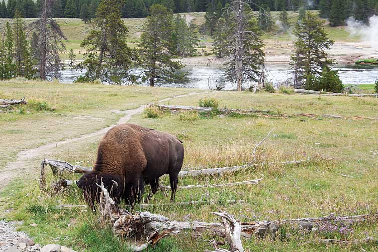 In the Black Hills, we spot our first bison (with many more to come)