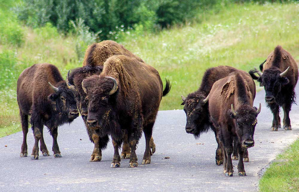 Photo of Bison on a road in Land Between the Lakes.