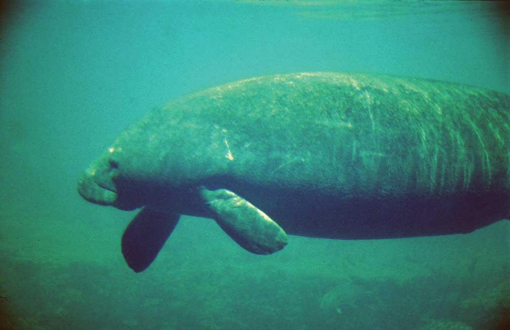 A manatee swims in Florida coastal waters