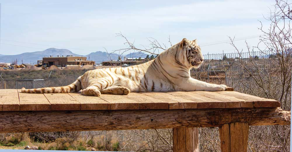Chalet, a white Bengal tiger, relaxes in the sun at Out of Africa in Camp Verde, south of Sedona.