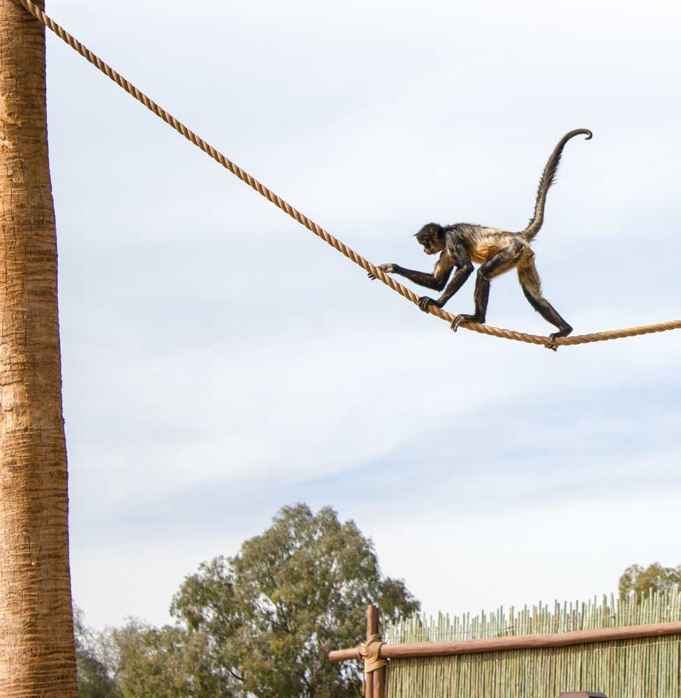 A spider monkey crosses the rope strung between trees on an island in Wildlife World.