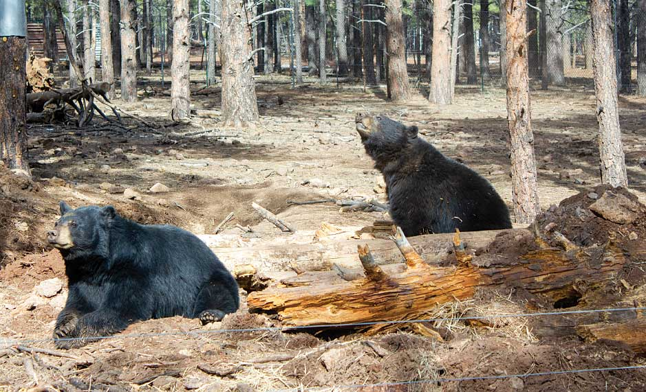 Bearizona's black bears have plenty of space to roam in the drive-through area of the park.