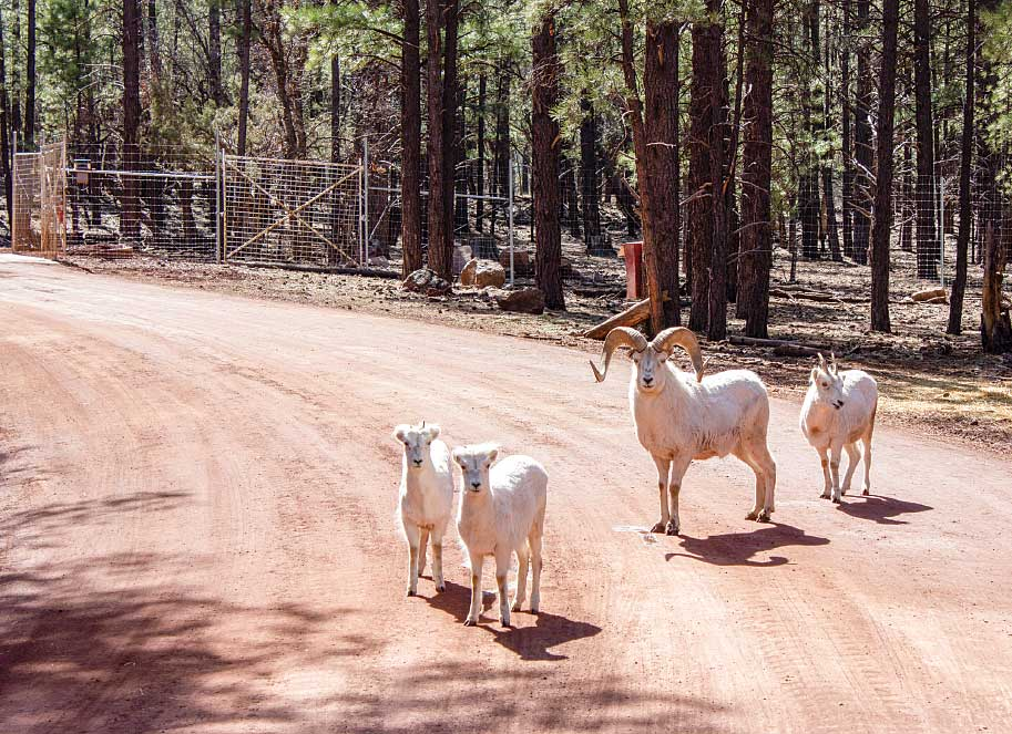 Bearizona's bighorn sheep have space to roam in the park's drive-through area.
