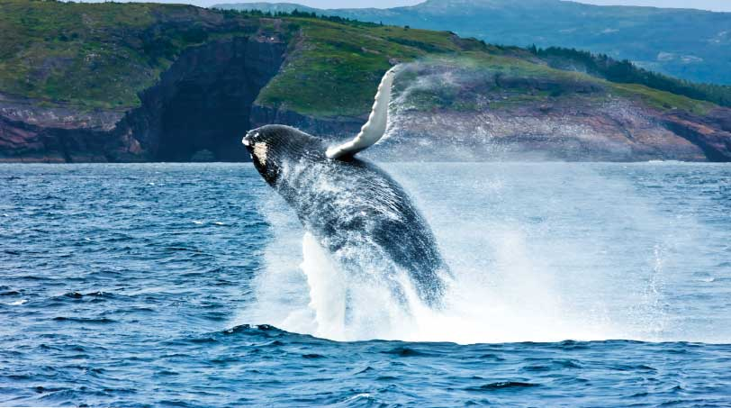 he sight of a humpback whale breaching is breathtaking.