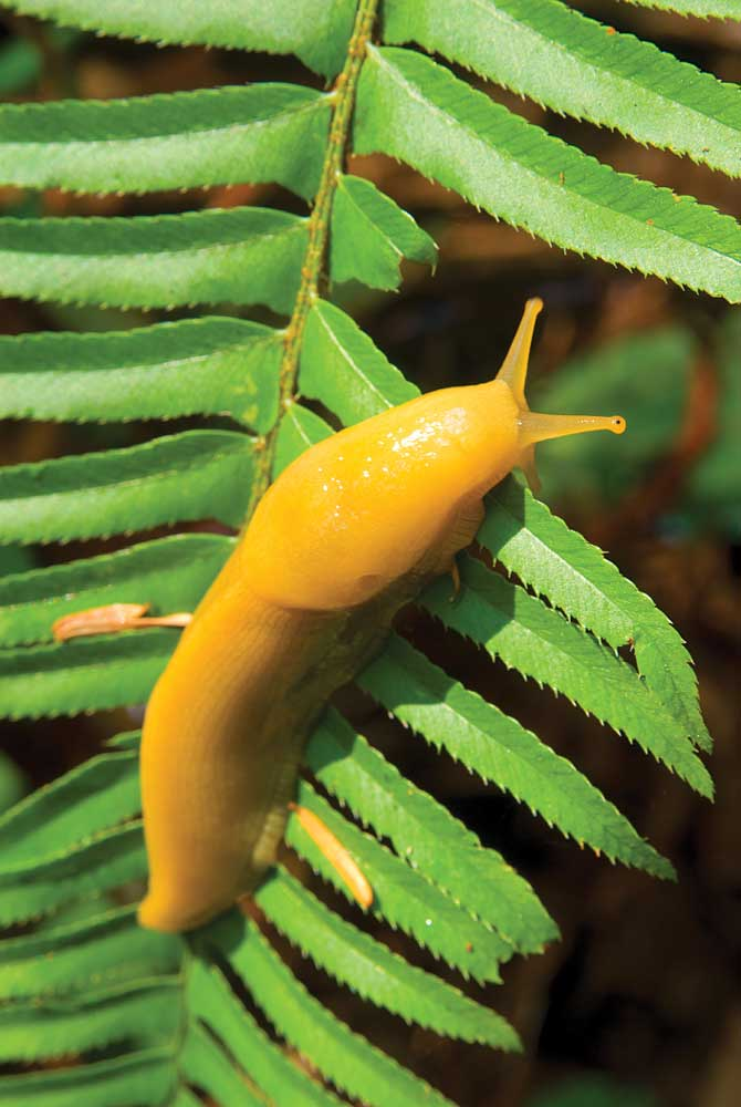 Banana slugs, like this one resting on a sword fern along Prairie Creek Trail, secrete a mucus coating capable of numbing the tongues of potential predators.