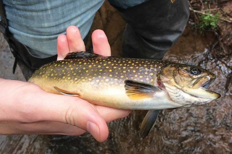Anglers who cast their lines into Pine Creek can expect to catch brown trout like this, as well as smallmouth bass.