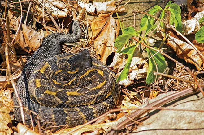 Timber rattlesnakes show themselves occasionally on the Pine Creek Rail Trail. They're not aggressive, but it's wise to keep your distance.