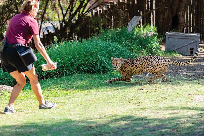 Cheetah Run in San Diego Zoo Safari Park