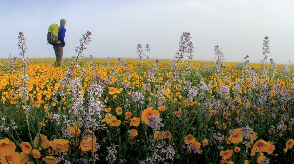 A hiker walks through a wildflower field in Carrizo Plains National Monument