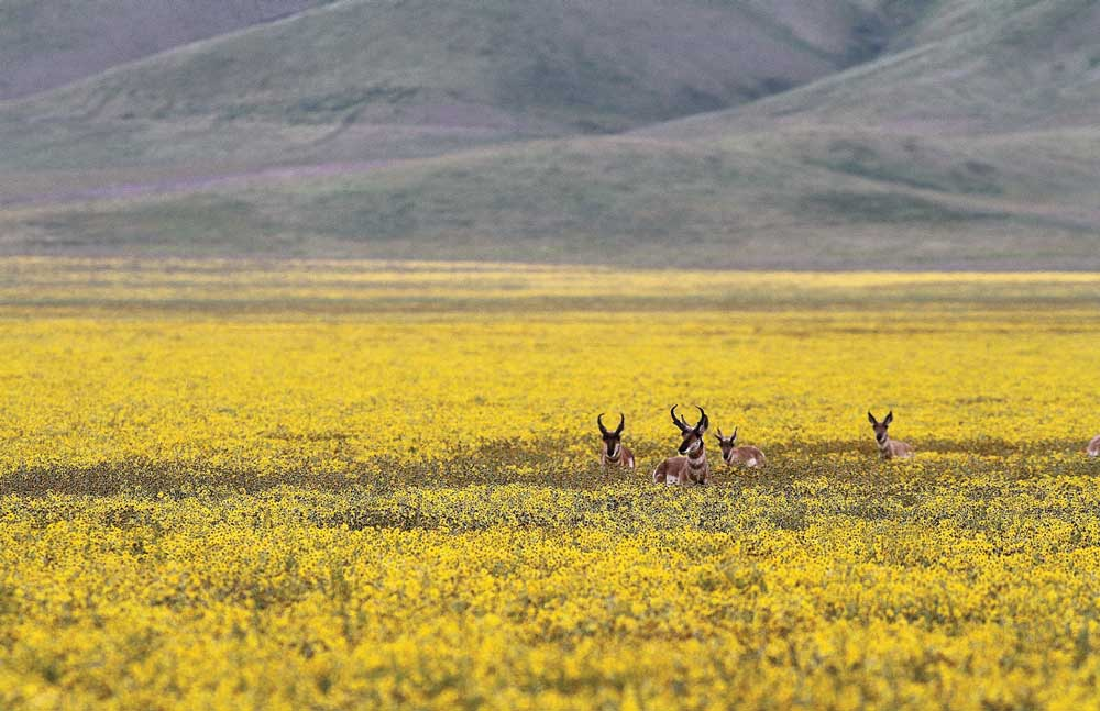 Pronghorn Antelope grazing in Carrizo Plains National Monument