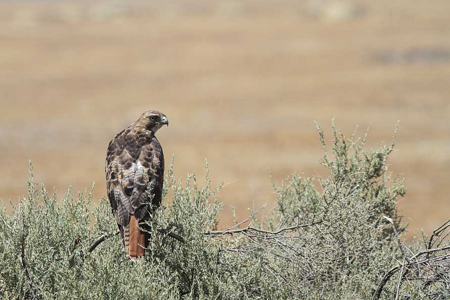 A red-tail hawk in Carrizo Plains National Monument