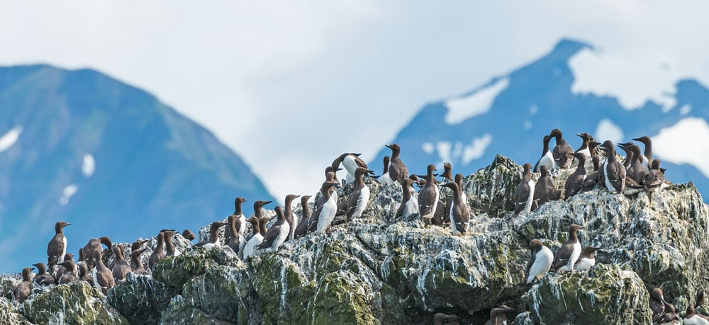 A flock of common murres