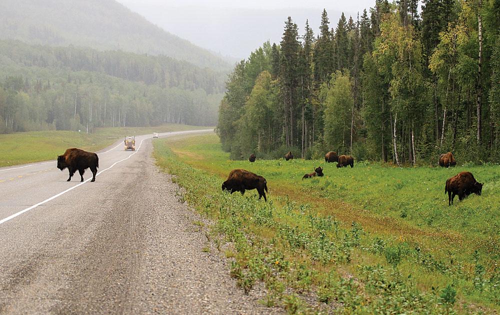 Wood bison cross the 75-year-old highway near Muncho Lake, halfway between Whitehorse, Yukon, and Fort St. John, British Columbia.