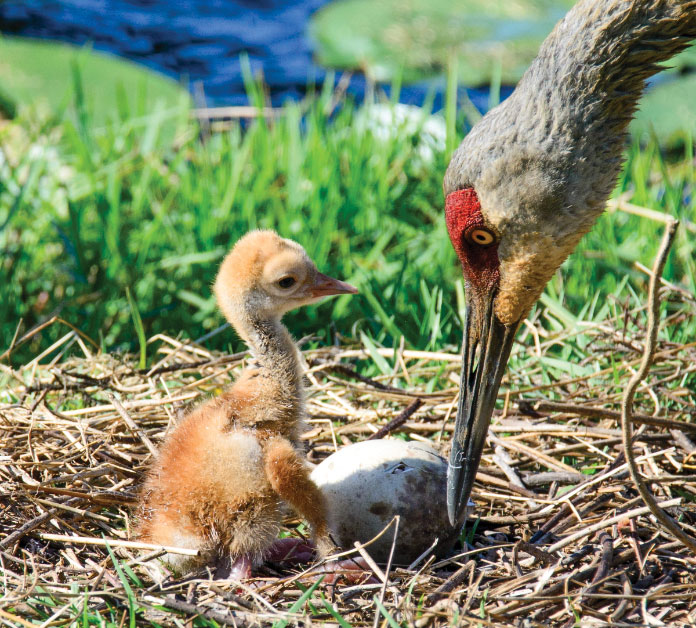 A sandhill crane checks on its newly hatched chick.