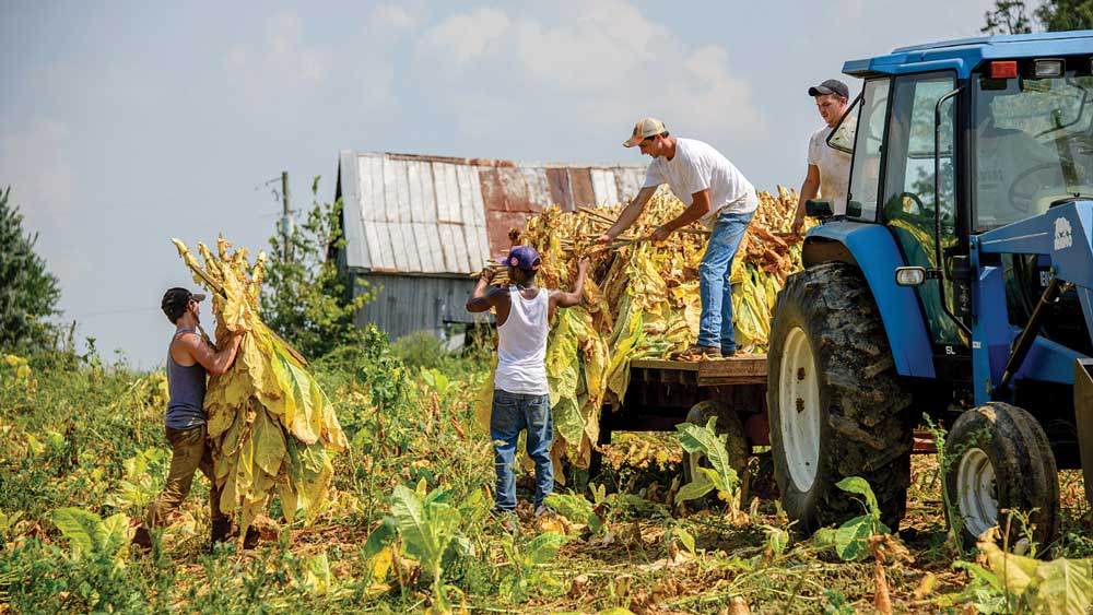 The backbreaking harvest of delicate tobacco leaves has brought the Maysville community together for generations.