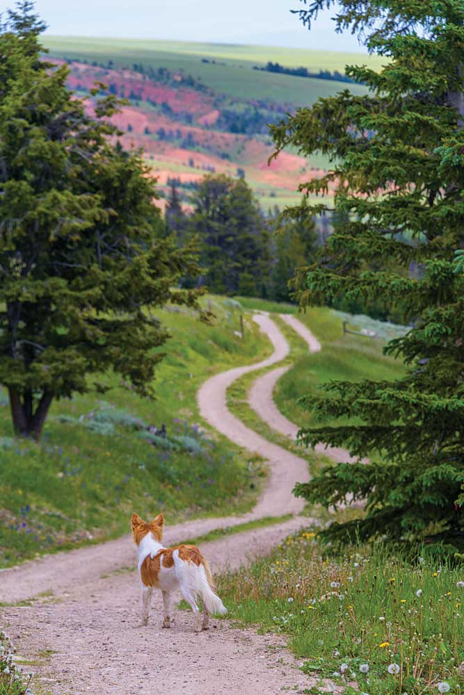 A dog on a dirt path off the Beartooth Highway