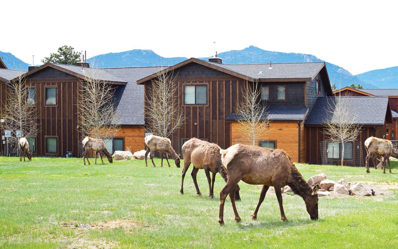 Elk in Estes Park, Colorado