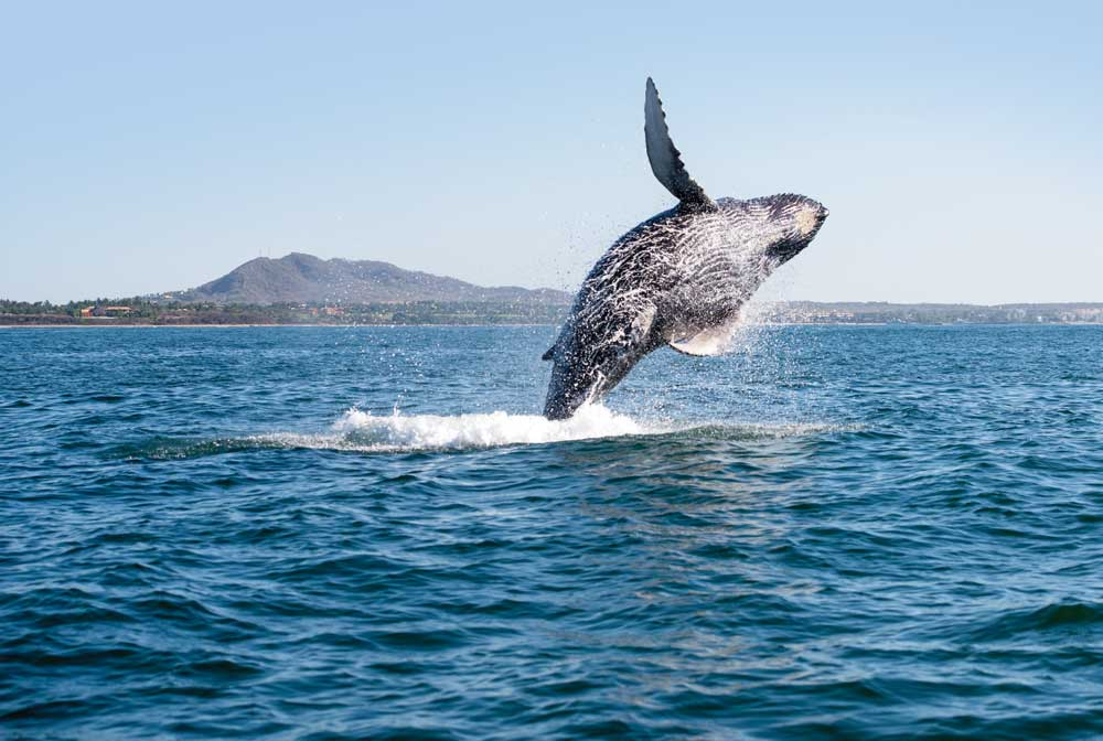A hump0back whale breaches in the waters off Vancouver Island