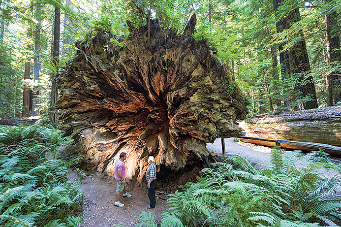 A giant uprooted tree in Humbolt Redwoods State Park.