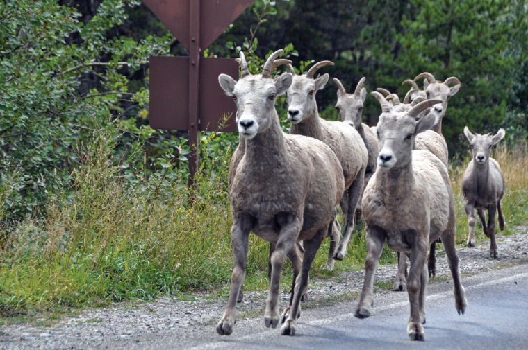 bighorn ewes and lambs trot beside the road in Glacier National Park.