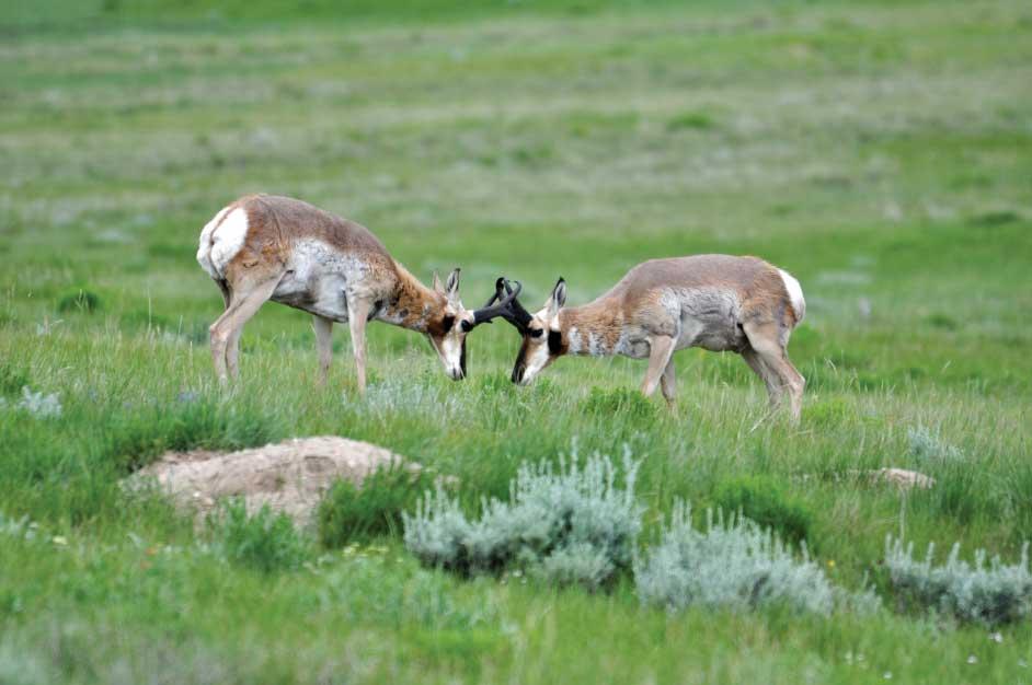Two antelope bucks spar on the unspoiled Montana prairie.