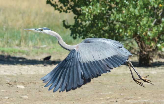 A blue heron takes off from the shoreline of the 12-mile-long Tongue River Reservoir.