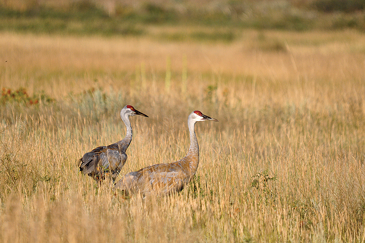 The area abounds with many species of birds and other wildlife, including sandhill cranes that wander the grasslands west of Three Forks.