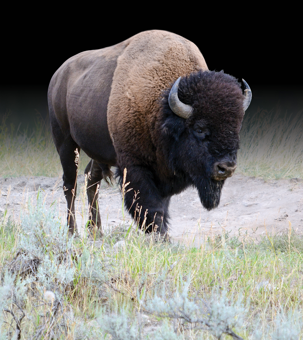Bison are a protected species in Yellowstone National Park and are a common sight.