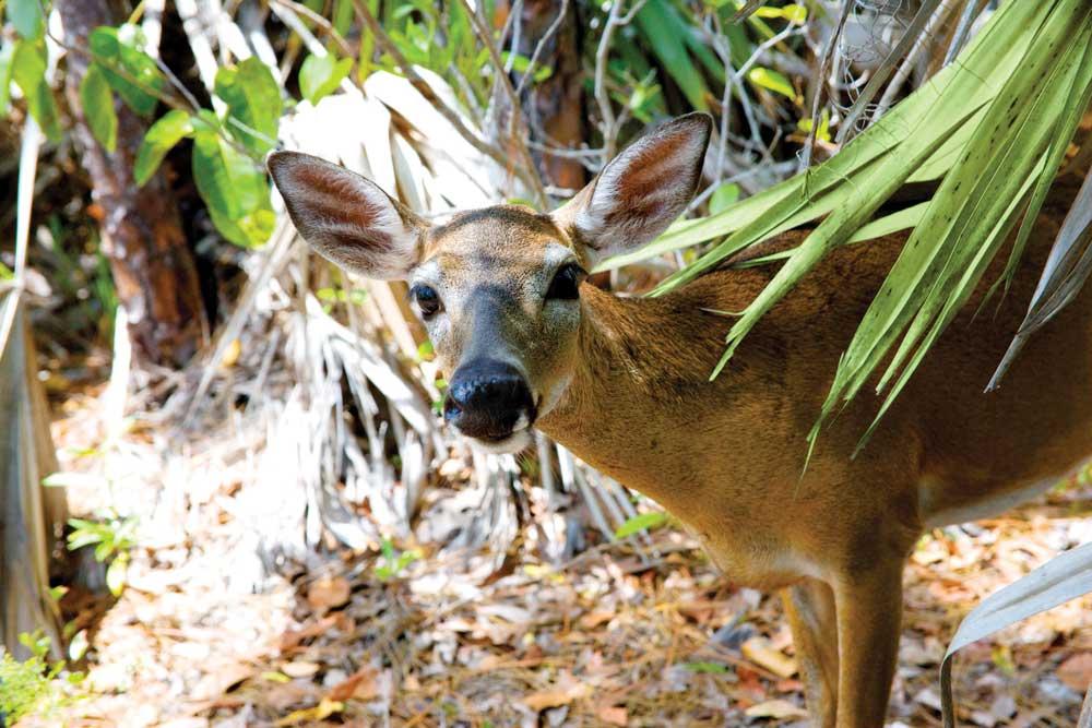 Deer looking at camera in woods