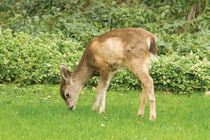 Deer like this spring fawn frolic freely in Ashland's Lithia Park.
