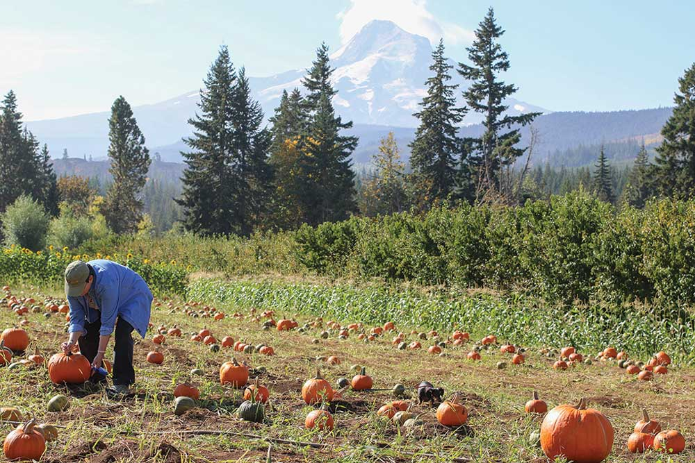 The pumpkin patch at Mount View Orchards is one stop on the Hood River County Fruit Loop.