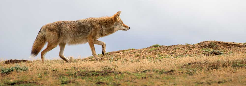 Coyote, like this one on the hunt in the South Unit, can be sighted throughout the park.