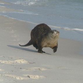 A river otter running along the beach.