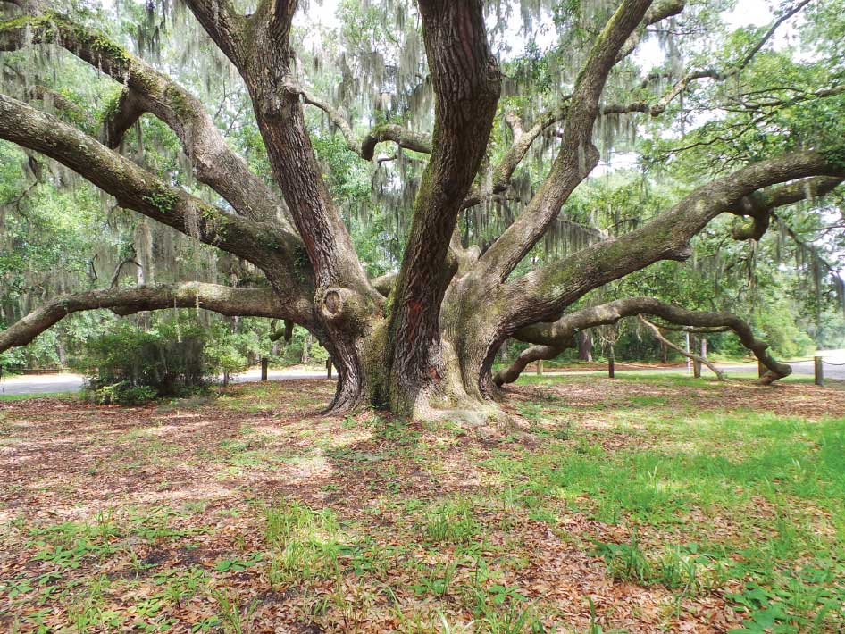 """You may recognize this iconic tree from its appearance in the film """"Forrest Gump."""" In the movie, Forrest teaches Jenny to dangle from its limbs."""