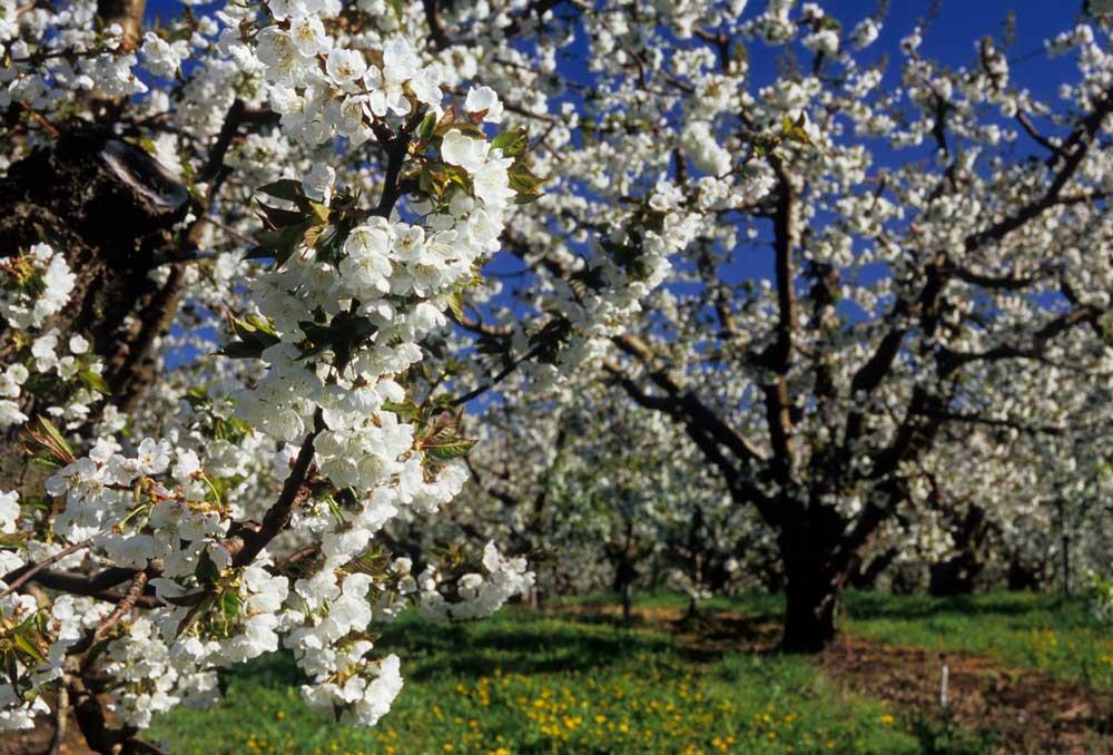 Cherry orchard in bloom, Yakima County, Washington