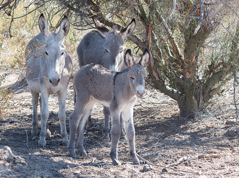 Wild burros roaming free in the desert and on the roads are frequent sights across the river from Parker near Earp, California.
