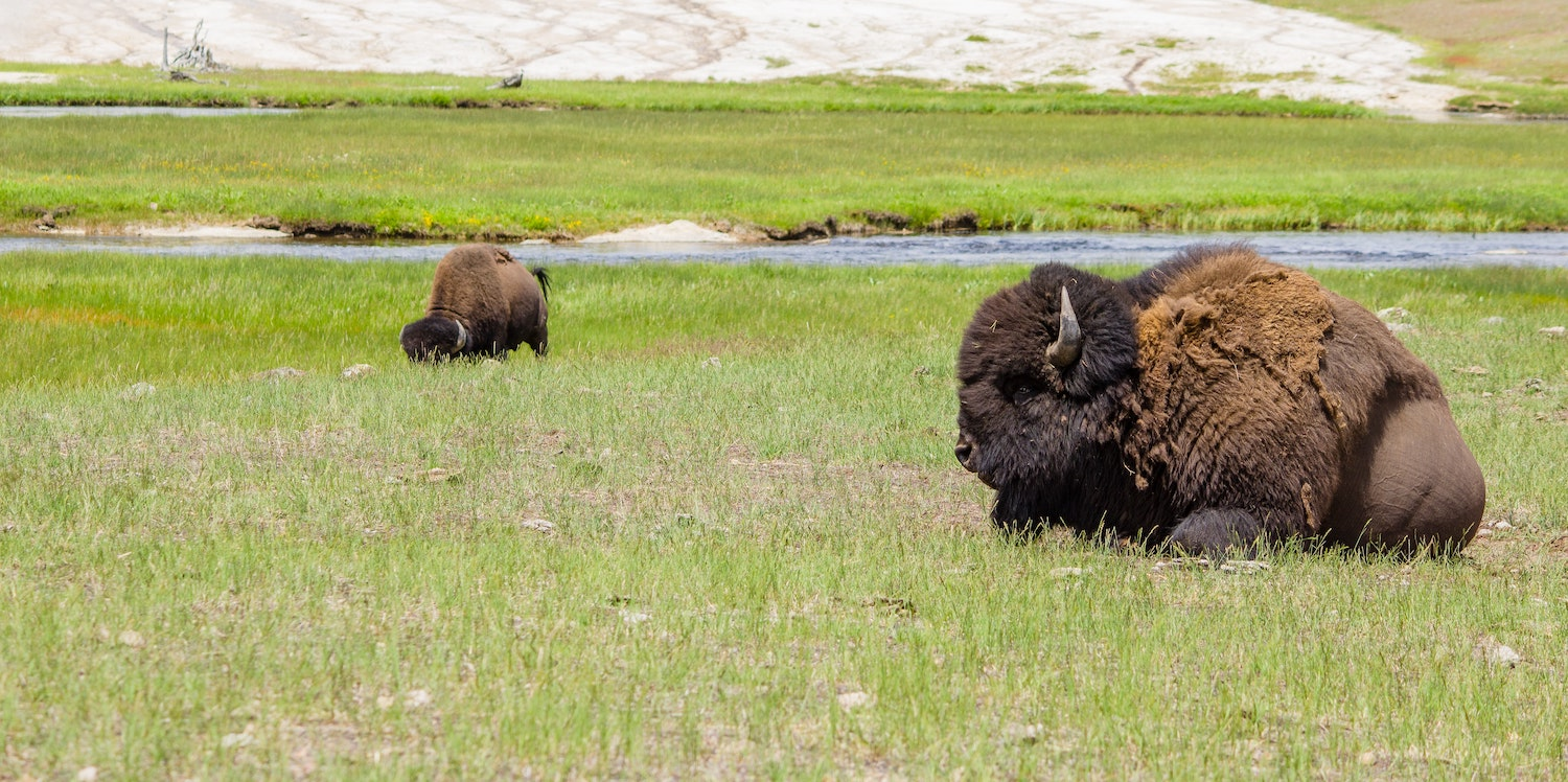 Bison sitting on the plains