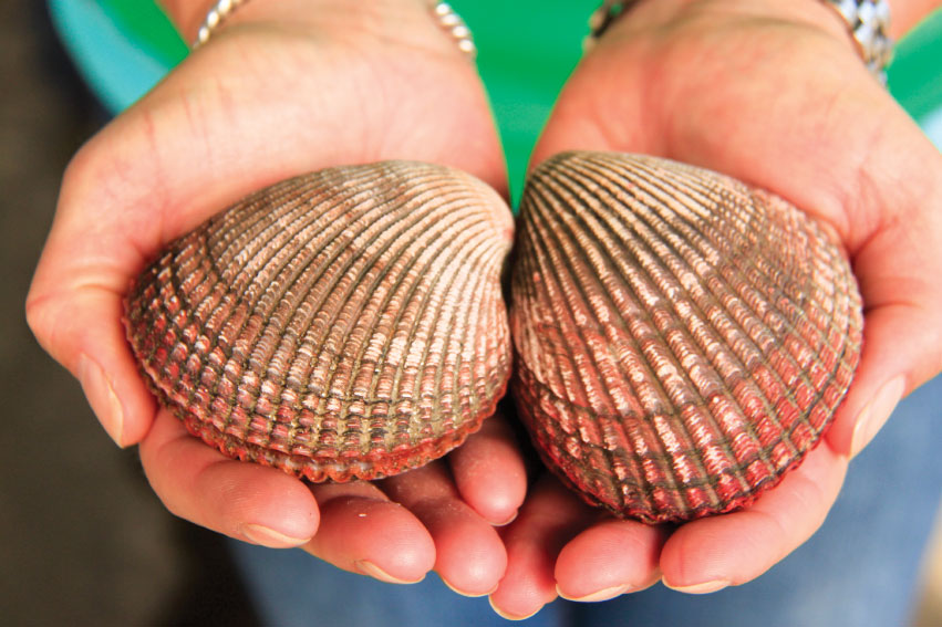 Cockles, a saltwater clam, are one of the untapped seafood markets Jeff Wong is developing at Garibaldi's Community Supported Fishery.