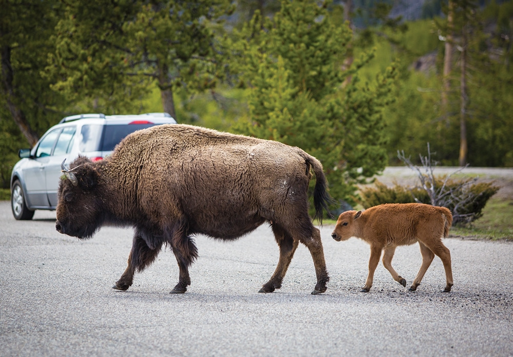 """Bison rule the roads, so plan extra travel time when driving through the park and keep your distance. Despite their slow lumbering, bison can sprint up to 35 mph or as Yellowstone states: """"three times faster than you can run."""""""
