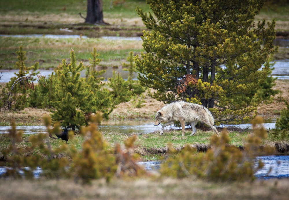 A spotting scope is a handy tool for sighting wolves that tend to hunt in distant meadows.